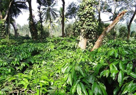 Coffee Plantations of Coorg, Karnataka