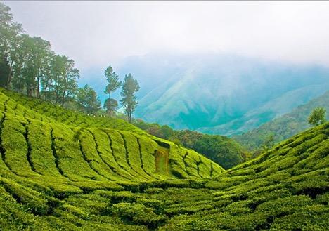 Tea Gardens of Munnar, Kerala