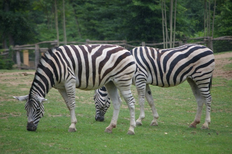 Zebras - Knowsley Safari Park