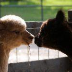 The Alpaca Experience – Tour the Farm